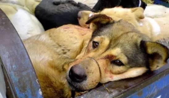 【视频】偷狗贼被抓现场,养狗的要警惕!这样的狗肉还有人吃得下去吗?