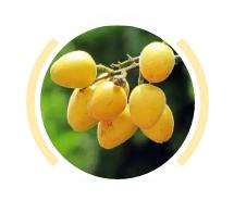 揭阳人都爱吃的这种水果熟了,浑身都是宝!