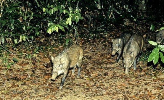 宜宾出现200多斤重的疯狂野猪,把村民的庄稼地踏为平地。