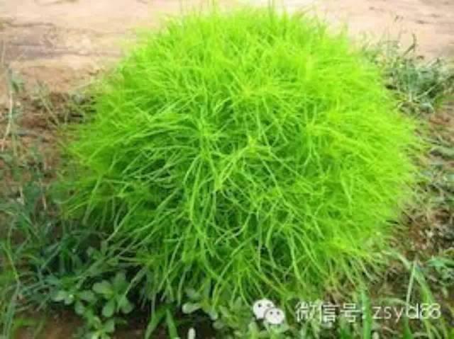 在平川,小时候常见又叫不上名的植物,太全了~原来它们的名字是这样的...