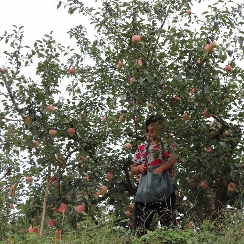 烟台果农摘苹果的场景,辛苦劳动盼着卖个好价钱