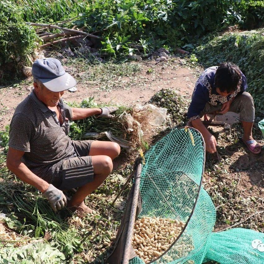 莱阳农村开始收花生了,看农民老大叔打花生的场景