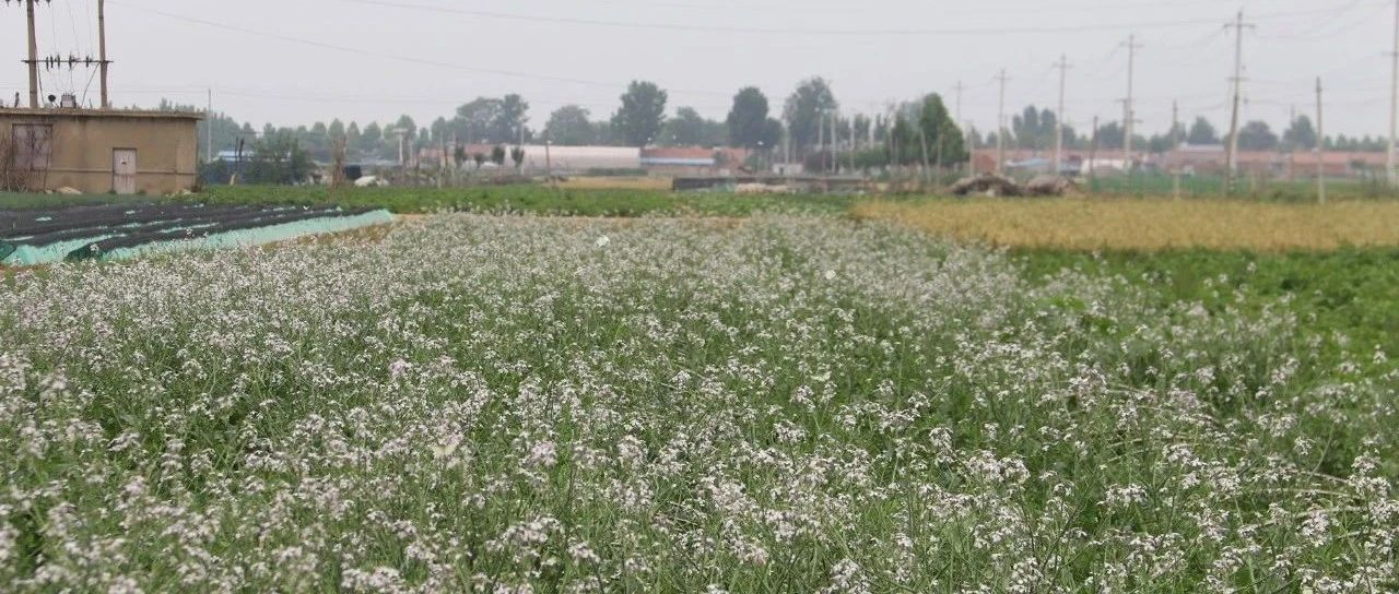 组图:在胶东的田野上,看到一片盛开的萝卜花