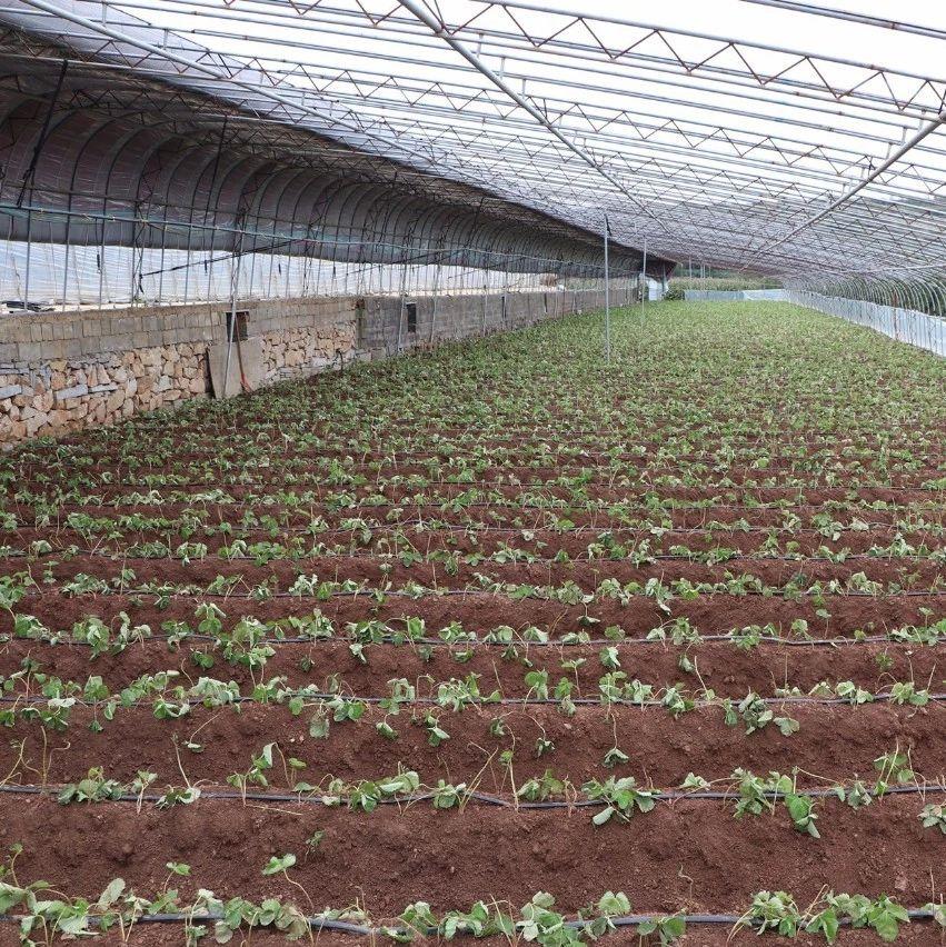 中秋节将近,最新注册送体验金网址农村的大棚草莓也种上苗了