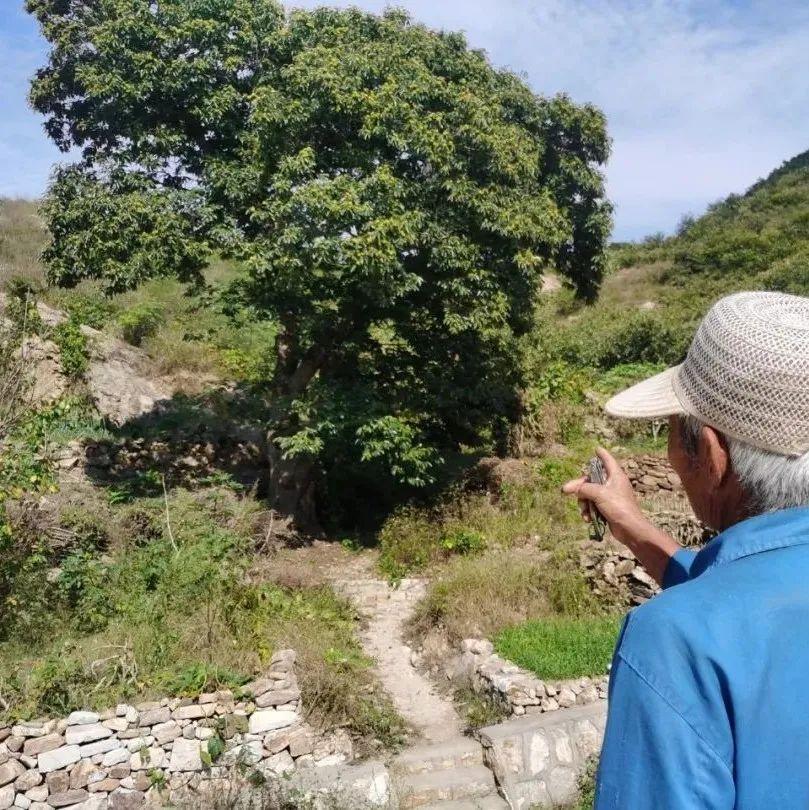 看图:参观马石山区一棵百年板栗树,少说也有百年历史