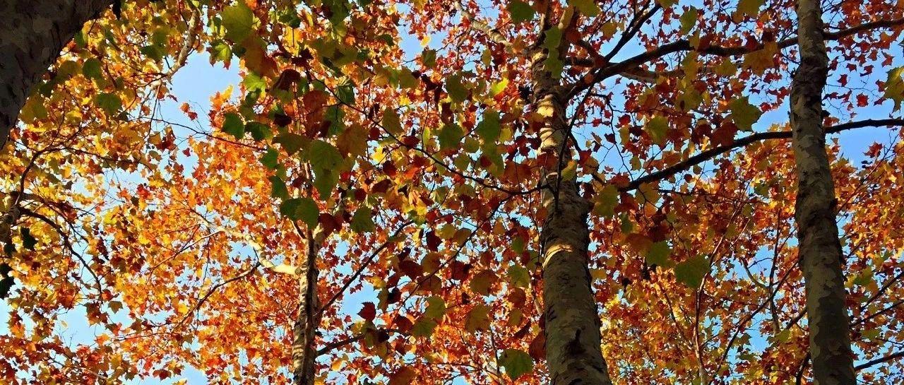 莱阳农学院老校园的秋季风光,水杉和法桐颜色正浓
