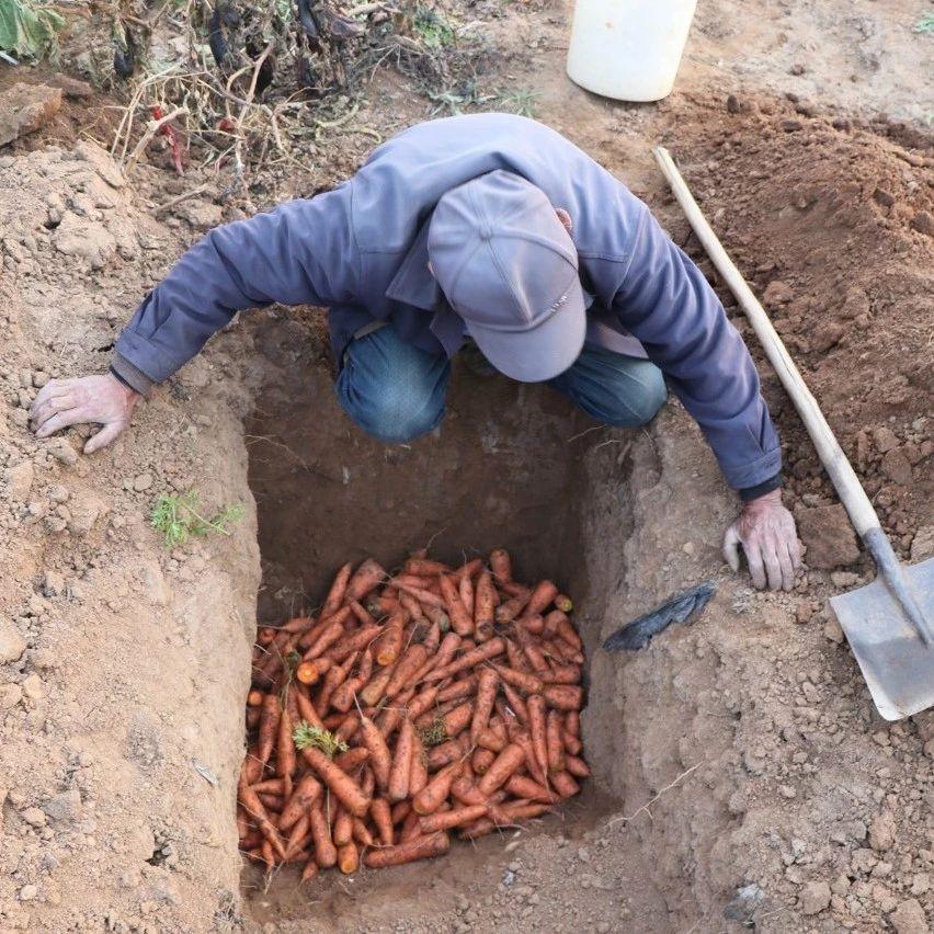 胶东农村收胡萝卜的场景:根块入窖储藏,叶子拿回家吃
