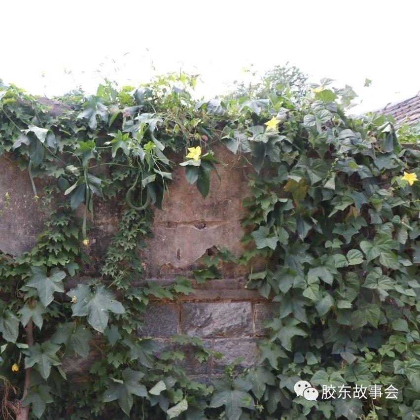 看图:爬满院墙的丝瓜藤,胶东农村的一道风景