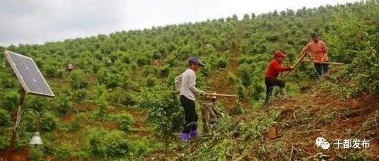 """万亩荒山变身""""油茶林""""!我县打造绿色持久的脱贫致富产业"""