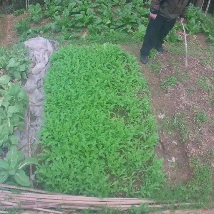 丽水一七旬老汉种植大量罂粟当菜吃,尿检呈阳性!