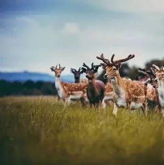 鹿业资讯|如何烹饪鹿尾,美味又滋补!