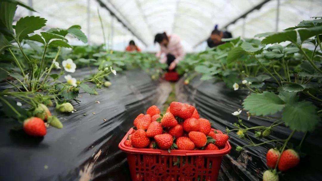 最近夹江大街上到处都是卖草莓的,但这3种千万不要买!