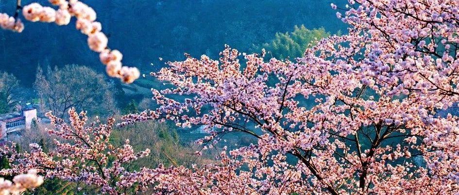 组诗:大悟樱花,三千繁华尽在野