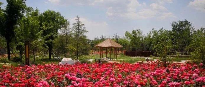 快看!苑陵故城的月季花开啦!美的像花海一样!