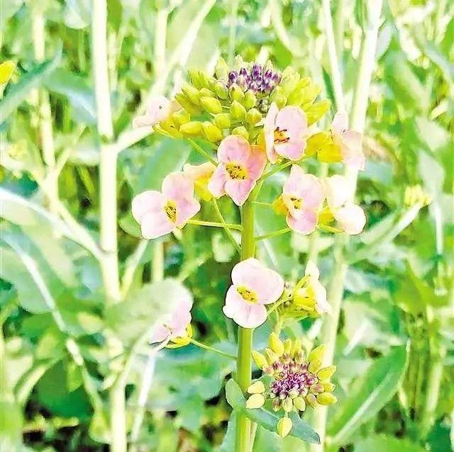 油菜花只有黄色?她和她的小伙伴让油菜花开出10种颜色!