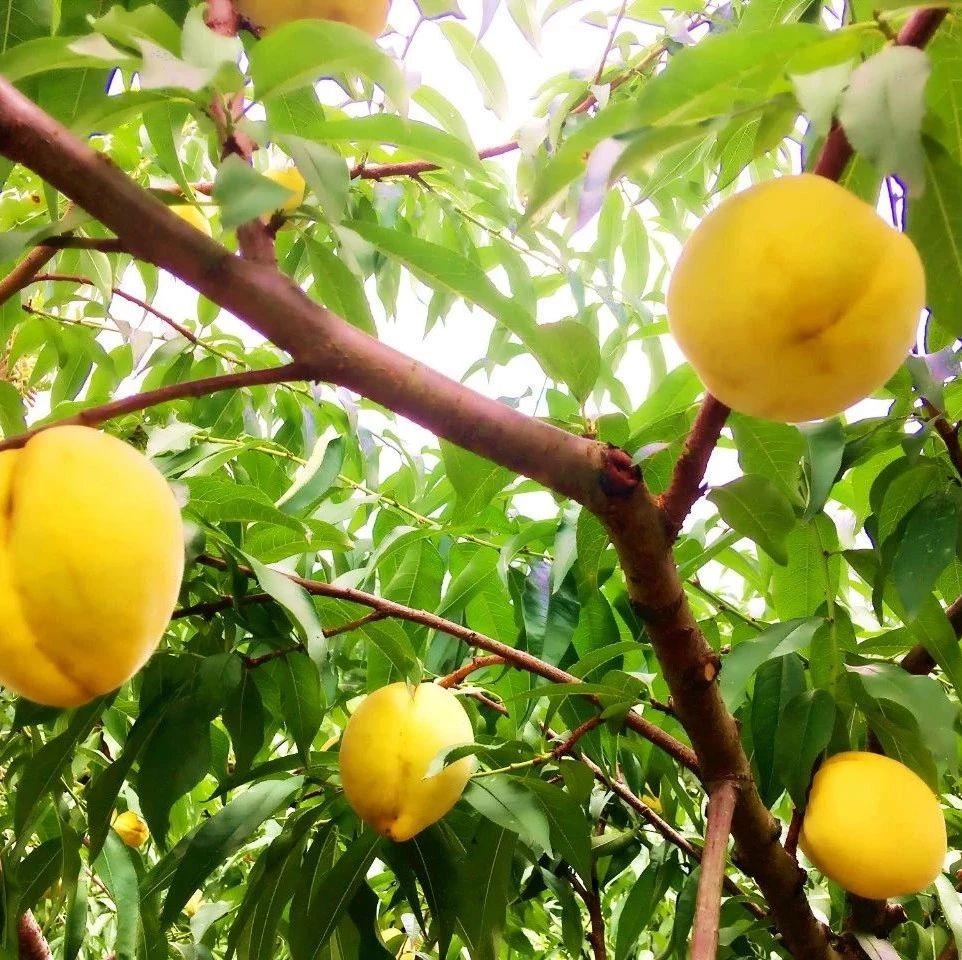 上溪近年爆火的水果,全乡种植2000余亩,亩产2万元