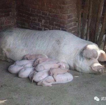 一头猪卖了11600元,这下发财了!