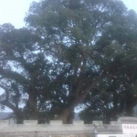 石马镇石脑背古樟树:高虎脑战斗的见证者(文/张振芳)