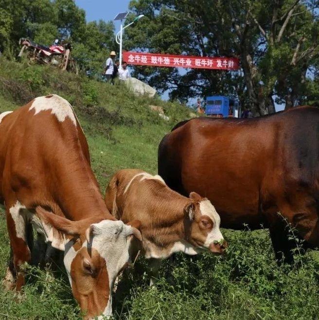 牛!接地气!延续几百年的牛市节(作者:张振芳)