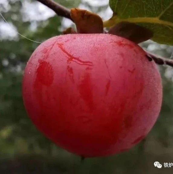 铁炉塬的柿子//红卫