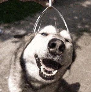 主人与狗子比翘腿,分分钟被狗子秒杀!@这傻主人