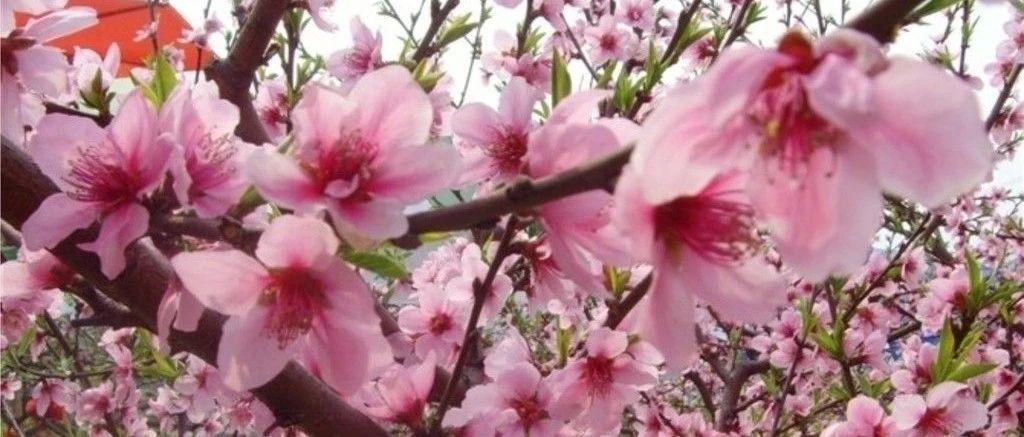 【儒沐春风芬芳邹城】官宣!大束镇葛炉山桃花节将于3月30日盛大开幕!