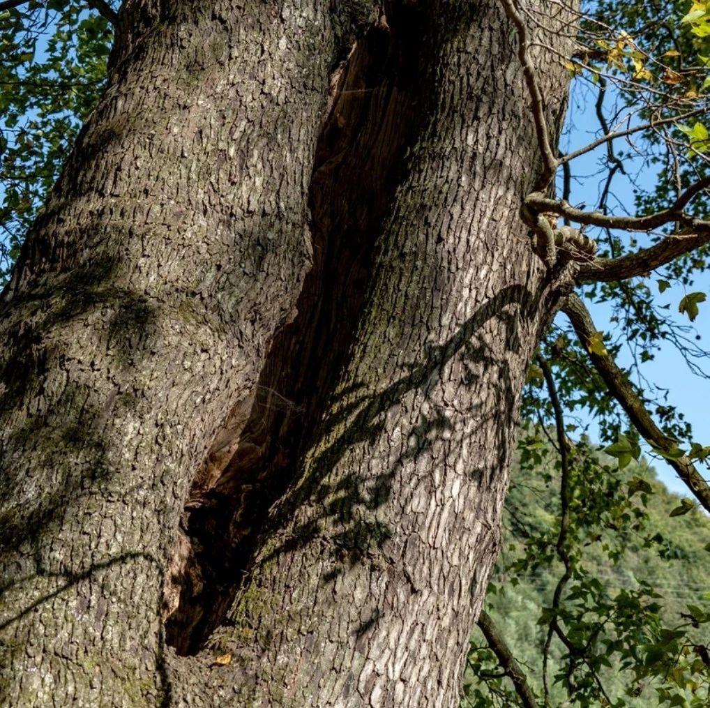 走!带你进山,一睹金寨古树的尊容!