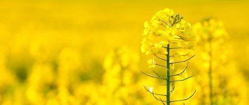 """世界唯一!""""十一"""",江西这里的秋季油菜花如此美!"""