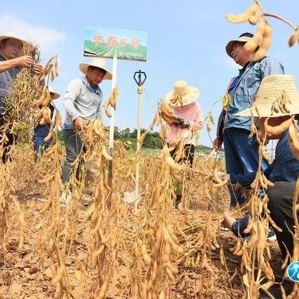 厉害了!亩产量263.2公斤,湖口春大豆种植创这项新记录~