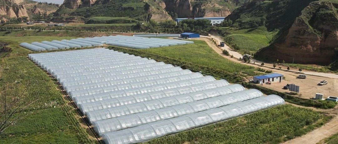府谷镇高梁村40棚豆角找到上海买主,全年大棚基地销额将达到50万元
