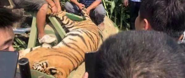 马戏团正在表演,老虎突然跳出铁笼跑了!
