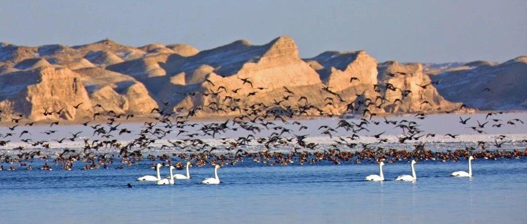 betway体育app:托素湖惊现国内罕见赤嘴潜鸭群