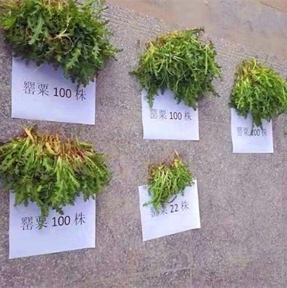 澳门威尼斯人网址警方已抓捕两人,竟因为种植罂粟