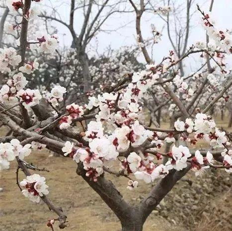 寻美邹城|春色满园关不住,玉皇山上杏花开