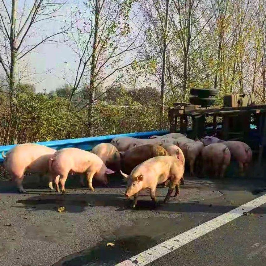 """吓一跳!40多?#20998;?#22312;洛阳高速上撒欢,民警客串""""猪倌""""……"""