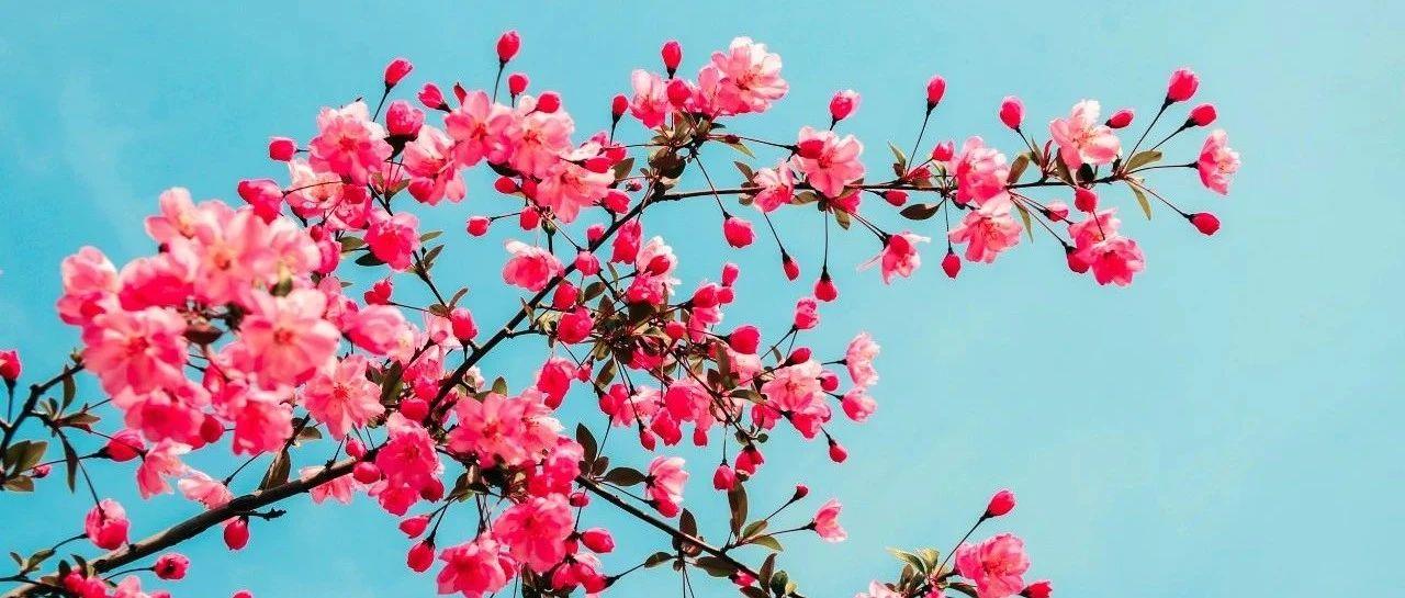 �R��@有一片海棠花!美爆了梨�l春天!