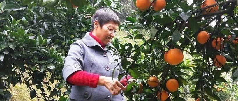 马上降温了,浏阳61岁果农还有上千斤脐橙在树上,请帮帮她!果园就在城区!