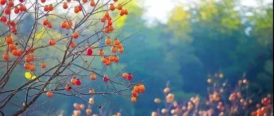 秋染中国・赏西安|蓝田的柿子熟了,味道嘹咋咧!