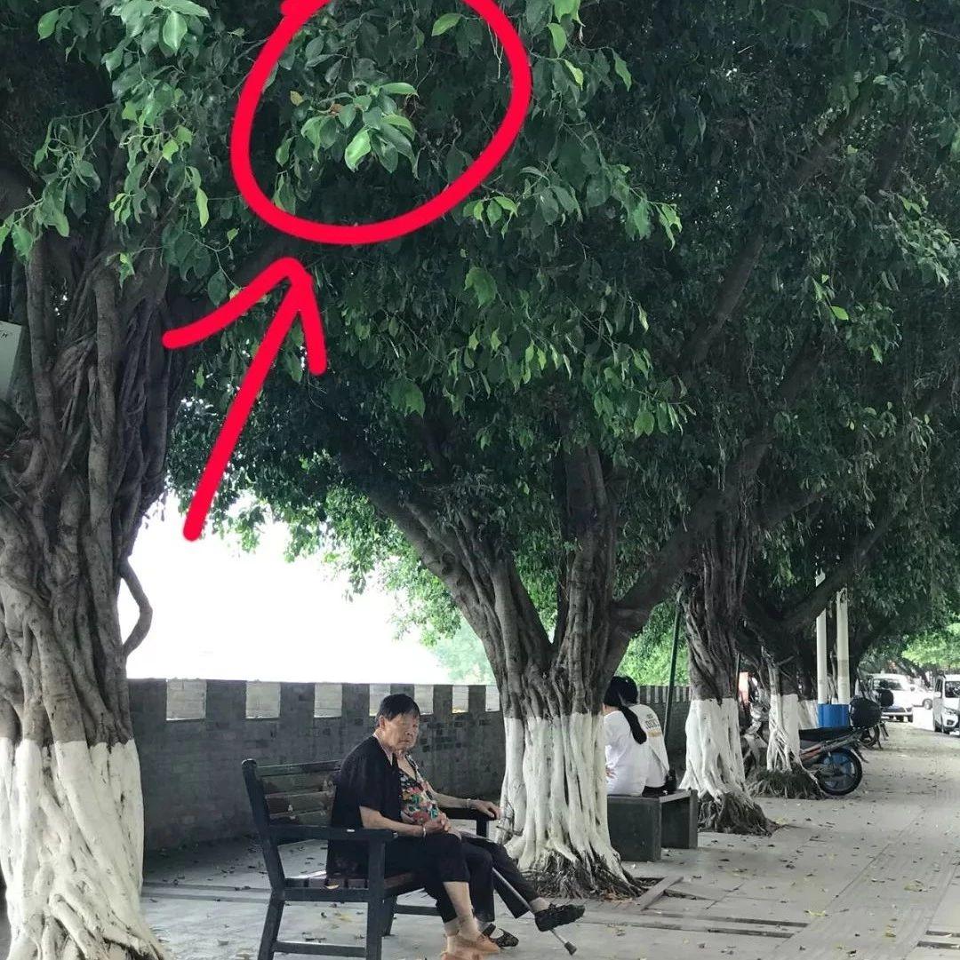 注意!巴城麻柳湾人行道树上发现一马蜂窝