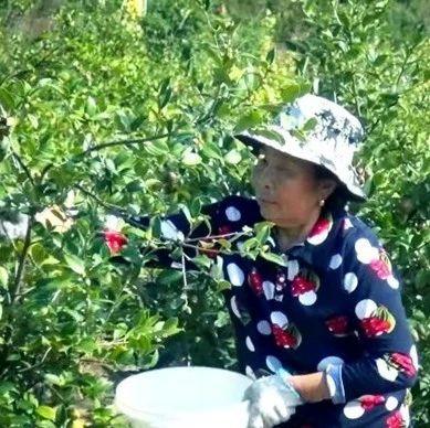 鸦滩镇:油茶产业喜获大丰收