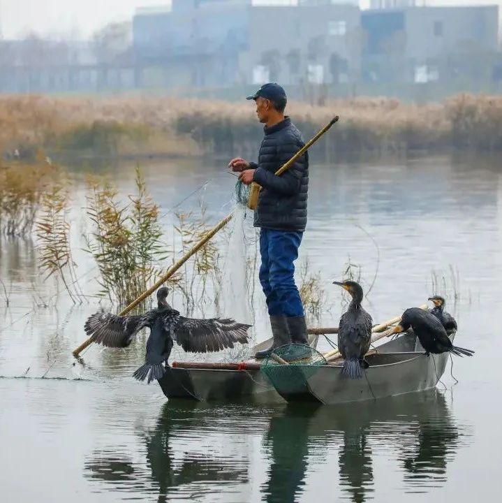 长葛双洎河:渐渐消失的鸬鹚捕鱼