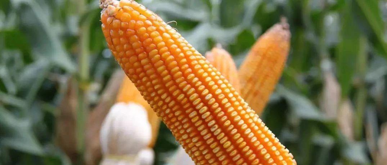 新季玉米价格已涨一成多建议农户适时积极出售