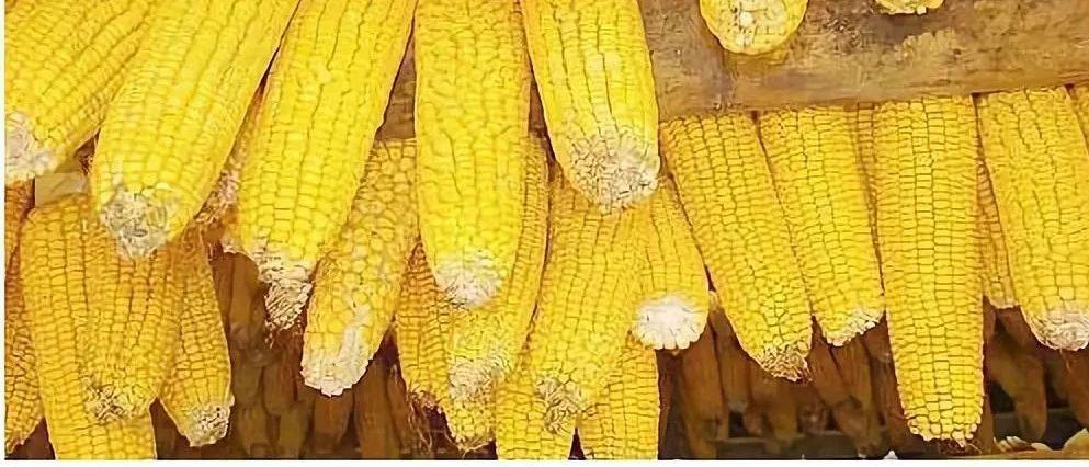 年关将至,玉米价格还会涨吗?看完心里有数了!