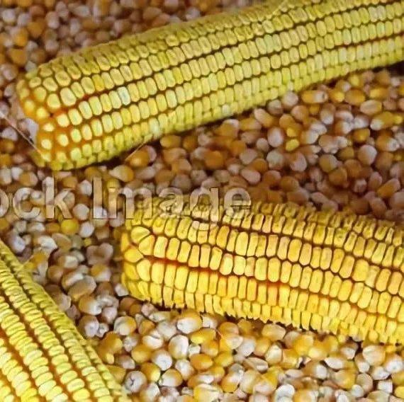 2019年种子产供需形势分析:杂交玉米全球化速度加快