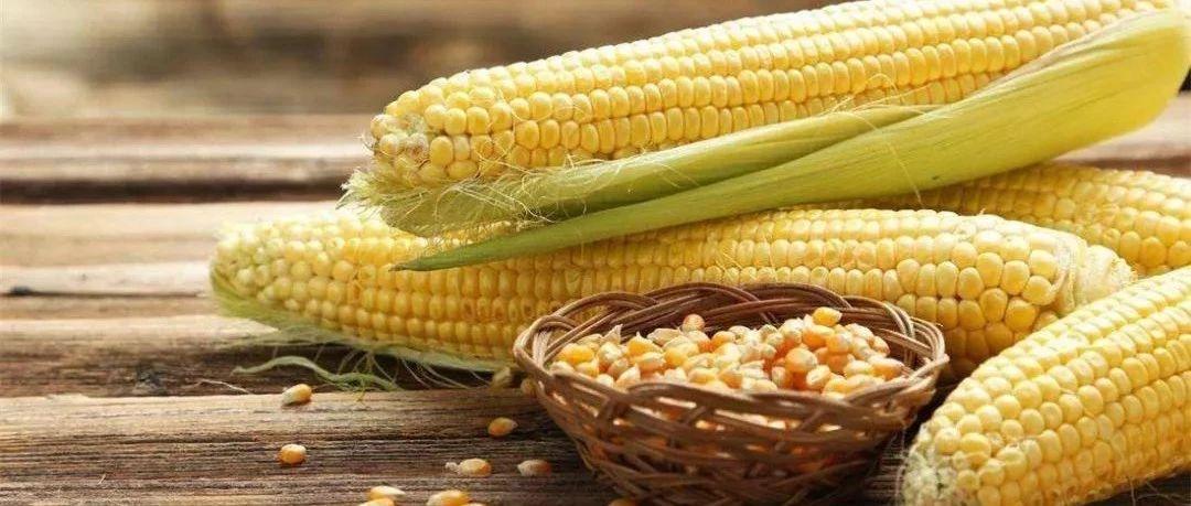 玉米购销旺季来临,行情如何,是否还冲劲十足?
