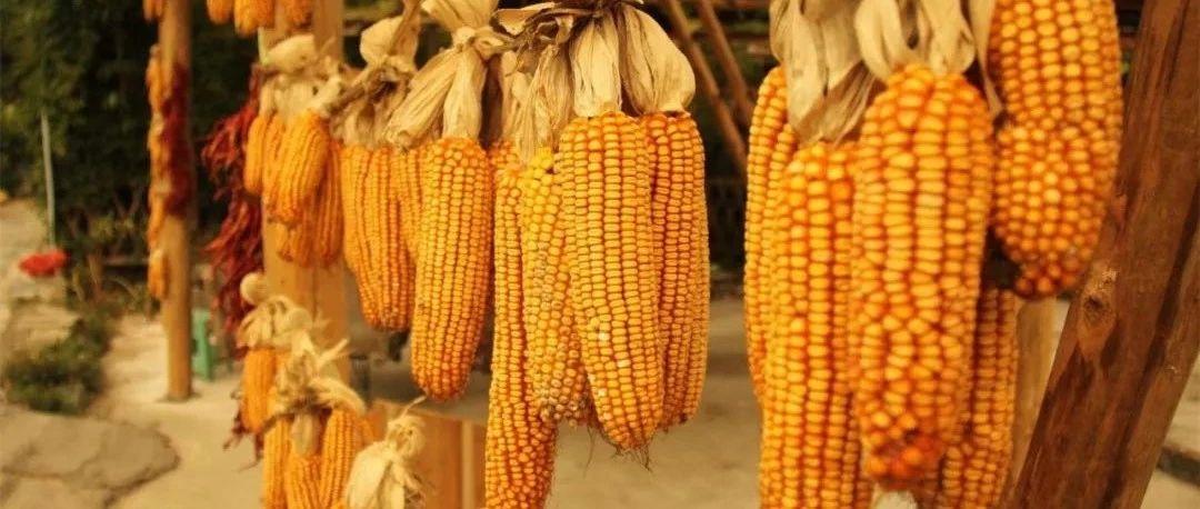 玉米市场最近为啥会下跌,还能涨回来不?
