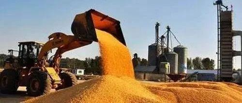快看!中粮中储粮开库收粮,玉米价格底气来了!