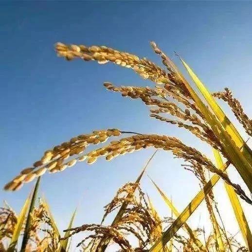 黑龙江正式启动2018年稻谷补贴资金发放工作,辽宁也有信了!