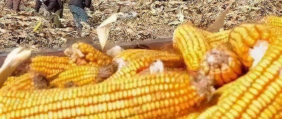玉米价格已经进入下跌模式?卖还是不卖??