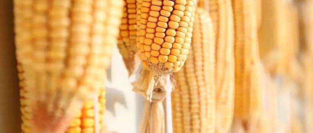 争议声中东北玉米价格已涨疯吉林燃料乙醇再提价50元